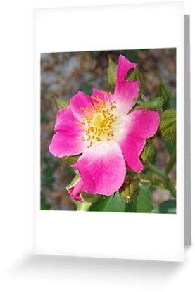 Swamp Rose (Rosa palustris var. scandens) and friend by May Lattanzio