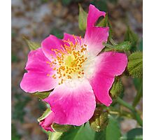 Swamp Rose (Rosa palustris var. scandens) and friend Photographic Print