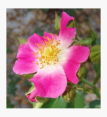 Swamp Rose (Rosa palustris var. scandens) and friend Photographic Print