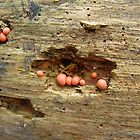 Lycogala epidendrum on dead pine by May Lattanzio