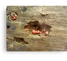 Lycogala epidendrum on dead pine Metal Print