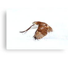 Red-tailed Hawk - Uprising Canvas Print