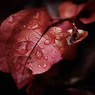 Bougainvillea after the rain by micklyn