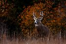 Early fall rut - White-tailed Deer by Jim Cumming