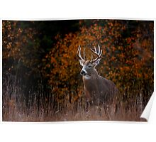 Early fall rut - White-tailed Deer Poster