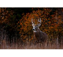 Early fall rut - White-tailed Deer Photographic Print