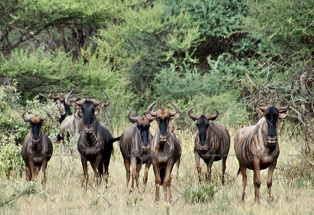 """SNORTING OF THE """"BLUE WILDEBEEST"""" - MY WAKE UP CALL by Magriet Meintjes"""