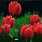 DECEMBER AVATAR ~ Bright Red Tulips