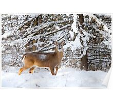 Young Buck in snow - White-tailed Buck, Ottawa Poster