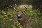 Bullet Buck Takes a Break - White-tailed Deer by Jim Cumming