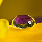 Daffodil Jewel by Sarah-fiona Helme
