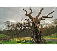 The Laund Oak Photographic Print