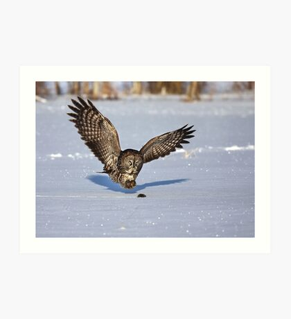 Great Grey owl catches a mouse Art Print