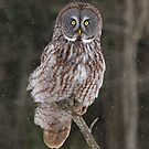 Perfect Perch - Great Grey owl by Jim Cumming