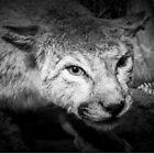The eye of a wildcat. by HanselASolera