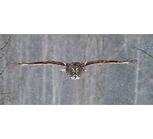 Coming in at full speed - Great Grey Owl Photographic Print