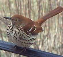 Wren on Steroids? by WalnutHill
