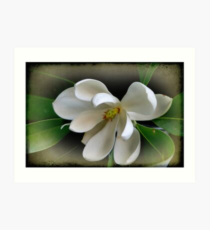Sweet Bay Magnolia Art Print