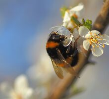 Bumble Bee On A Spring Blossom by rumisw