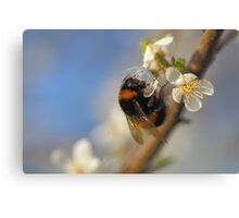 Buff-tailed Bumblebee (Bombus terrestris) On A Spring Blossom Canvas Print