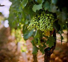 Grapes on the vine at Fattorio Poggio Alloro, Tuscany by hjlphotos