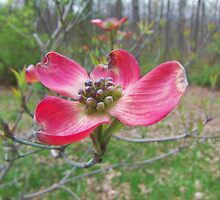 Red Dogwood by James Brotherton