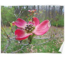 Red Dogwood Poster