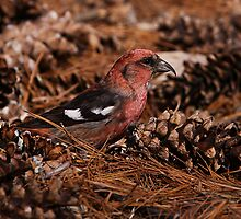 Red Winged Crossbill by John Absher