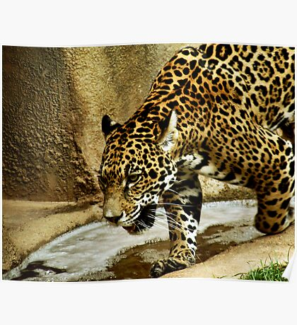 Pacing Jaguar Poster