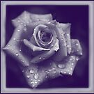 duotone blue rose by picketty