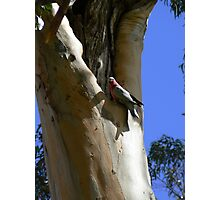 Galah In Ghost Gum Nesting Hole Photographic Print