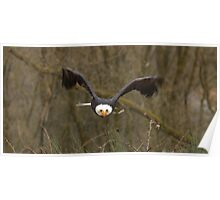 Bald Eagle wide Poster