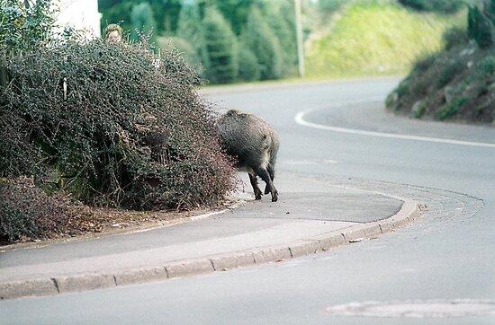 Wild Hog by Martin Langer