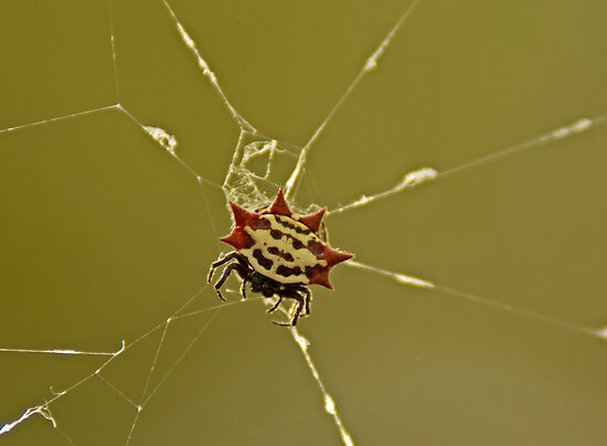 Spiny Orb Weaver by Michael Wolf
