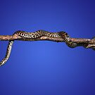 Spotted Python, Antaresia maculosa by peterstreet