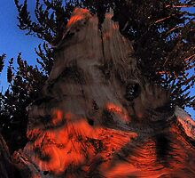 Ancient Bristlecone Pine, Eastern Sierra by Tyler  Core