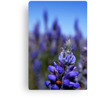 Lady Bug Lupin, Eastern Sierra Canvas Print