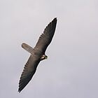 Lanner Falcon Flight by M.S. Photography/Art