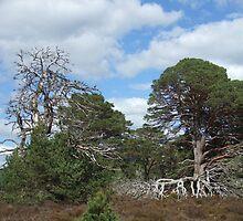 Knarled Trees, Highlands  by Debz Kirk