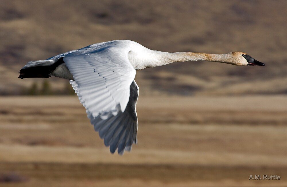 Trumpeter Swan On The Wing by A.M. Ruttle