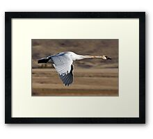Trumpeter Swan On The Wing Framed Print