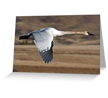 Trumpeter Swan On The Wing Greeting Card