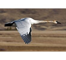 Trumpeter Swan On The Wing Photographic Print