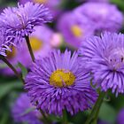 Purple Asters. by Martina Fagan