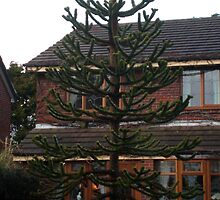 Monkey Puzzle Tree 4 by Barry Norton