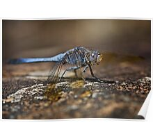Blue Dragonfly on Rock Poster