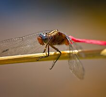 Red Dragonfly on Reed by Mark Snelson