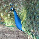 """"""" Peacock Profile """" by Ginny York"""