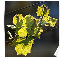 Vine leaves on spring Poster