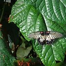 Great Mormon Butterfly by goddarb